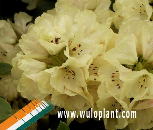 assortiment rhododendron wuloplant rhododendron hybriden. Black Bedroom Furniture Sets. Home Design Ideas